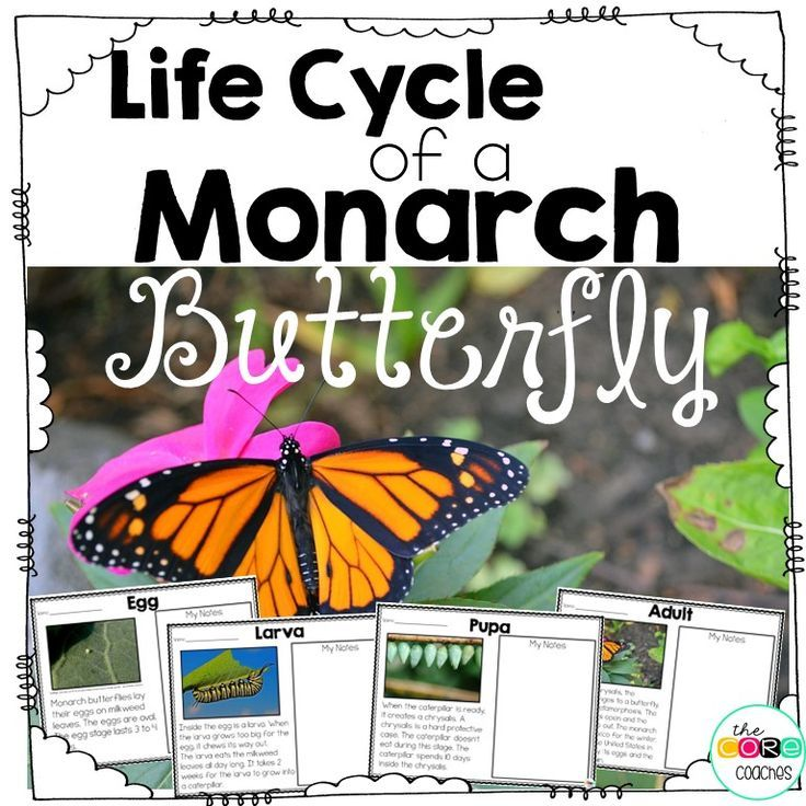 You will teach each part of the Monarch Butterfly's life cycle by reading, text coding, and taking notes. During each lesson you will model text coding, and note taking. Finally, students will use their notes to write about the life cycle of a Monarch.
