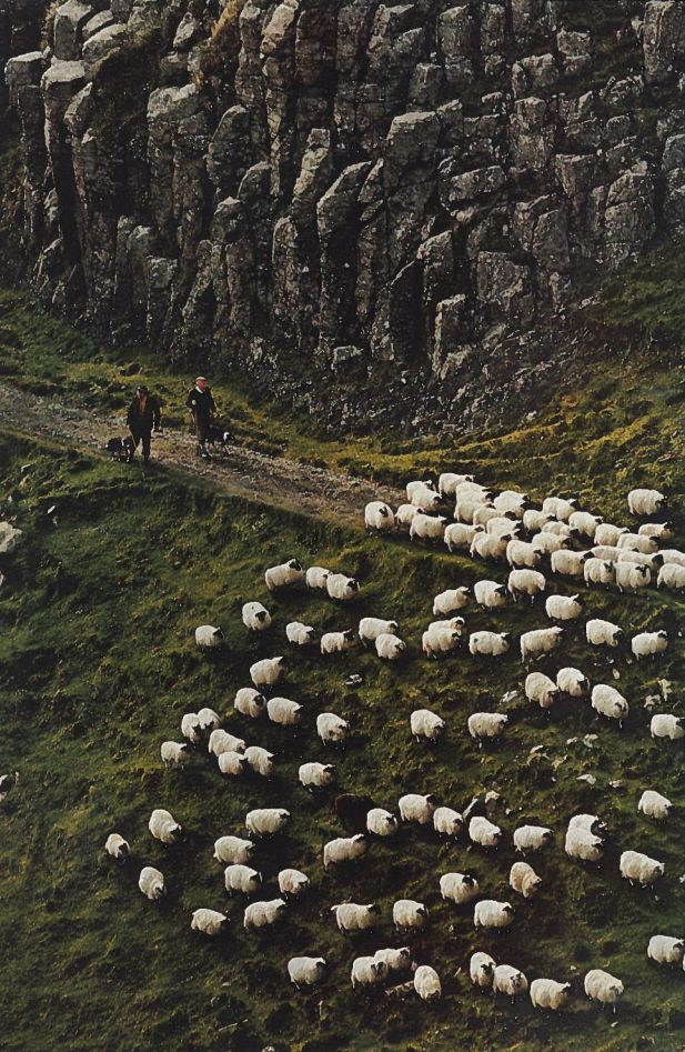 Walking with sheep in Schotland.