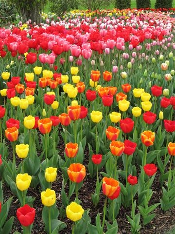 Intense color at the Roozengaarde Gardens at the Skagit Tulip Festival in Wa. State.