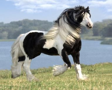 Gypsy Vanner. Has to be the most beautiful horse in the world. Definitely want one of these one day.
