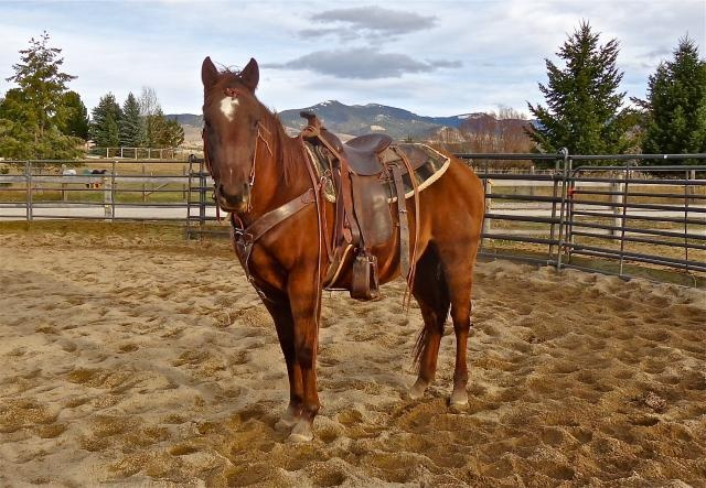Quarter Horse For Sale | Horse Classifieds | Chestnut Gelding For Sale