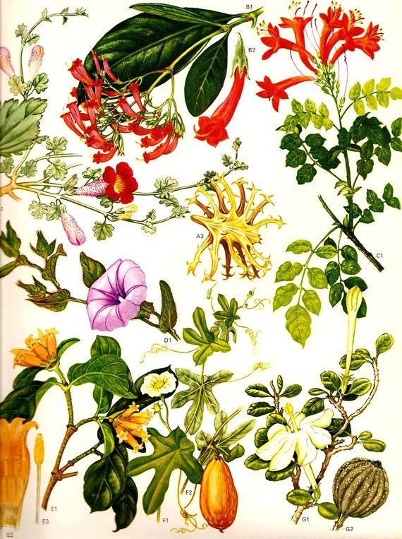 Vintage 1970 HONEYSUCKLE Color Art Print Wild Flowers Original Book PLATE 79 Grappe Plant, Buffeldorn, Wild Granaat and Kaffir Honeysuckle