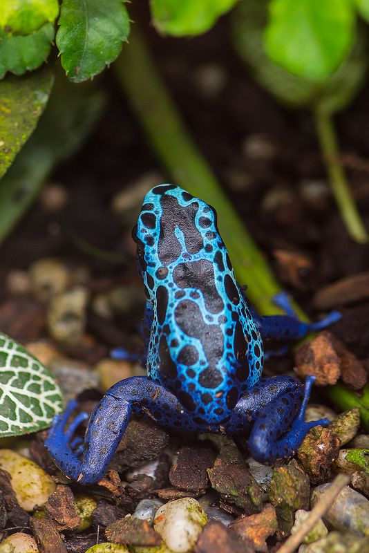 Blue toad animal