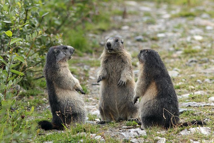 On papote... - marmottes_reunion.jpg