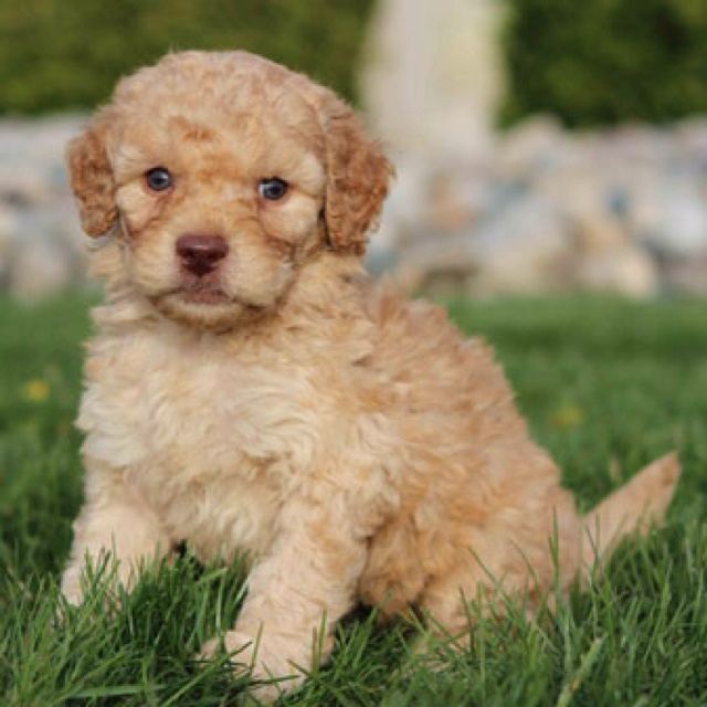 labradoodle labrador retriever and poodle mix - 640×640