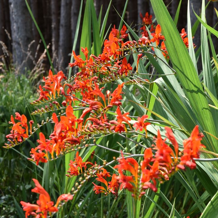 Crocosmia 'Red Lucifer' at www.plantparadisecountrygardens.ca
