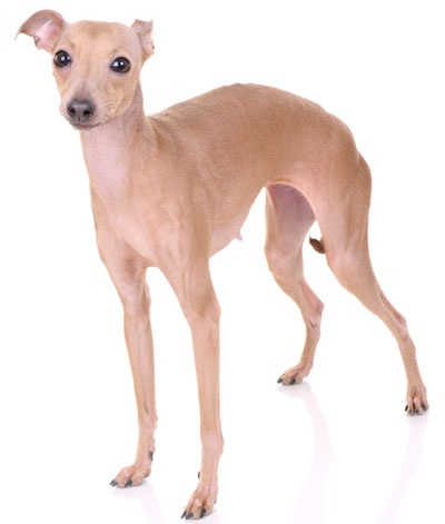"""Italian Greyhound:   Italian Greyhounds, or """"iggies,"""" are the prima donnas of the sight hound group. They are small, fragile, and emotionally high maintenance."""