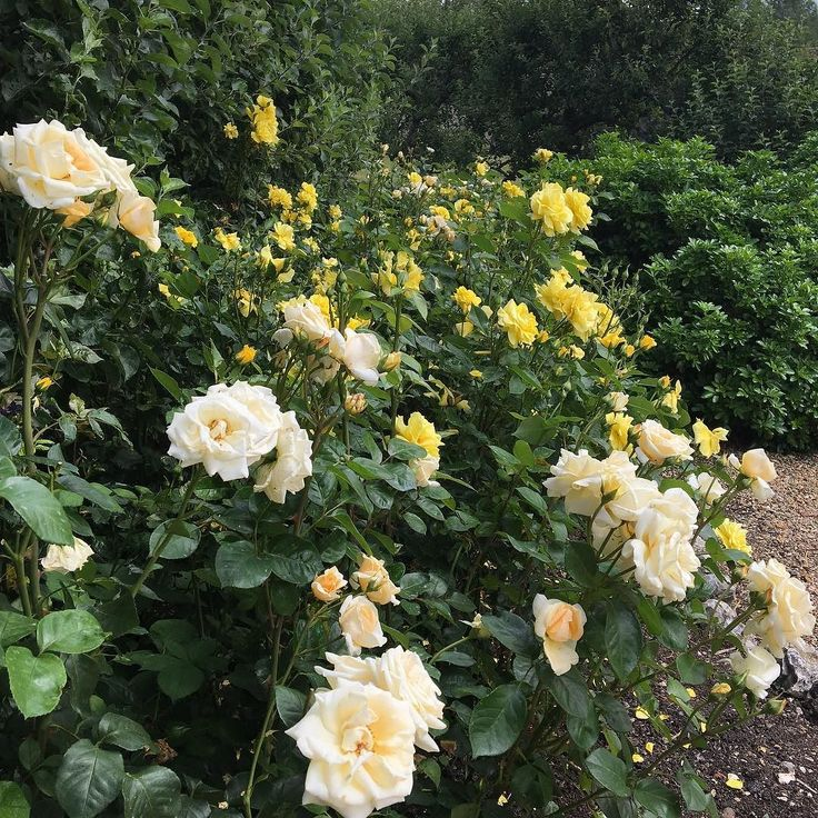 These have smelt divine today. The roses have definitely out performed last year. Gorgeous displays and scents. #houghtonlodgegardens #houghtonlodgeflowers #roses #rosegarden #britainsfinest
