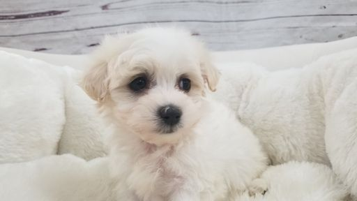 Maltipoo puppy for sale in LA MIRADA, CA. ADN-67427 on PuppyFinder.com Gender: Female. Age: 7 Weeks Old