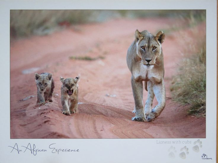 lioness with cubs in Botswana