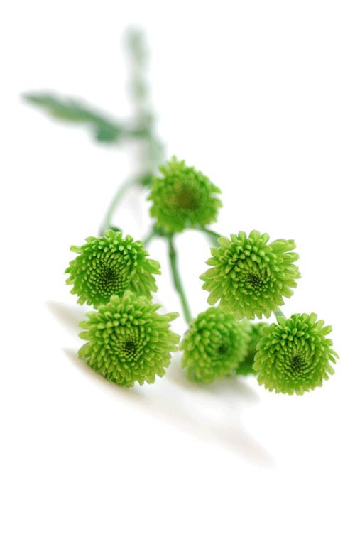 スプレーマム フロッギー 黄緑http://hanaya87.com/library/flower/flmt409