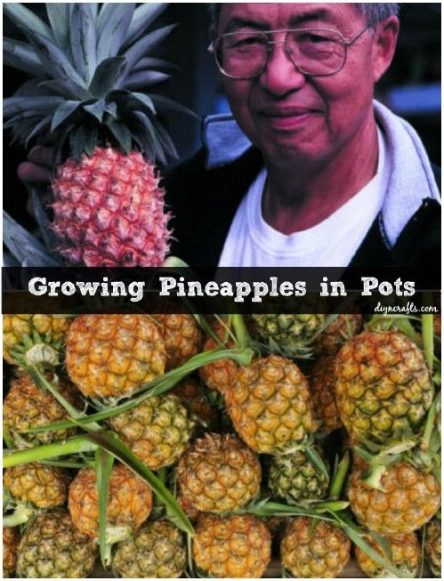 37 best growing pineapples images on pinterest fruit for Growing vegetables indoors