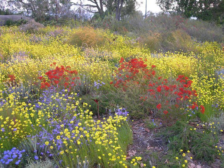 western australian wildflowers - desert blush