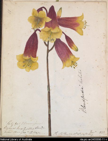 D.E.Paty,  Blandfordia Nobilis (Christmas Bells) -   from Wild Flowers around Newcastle, New South Wales between 1833-1836.