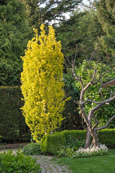 Les arbres au port fastigié (c'est à dire, ovale) sont particulièrement intéressants pour les petits jardins car ils ne prennent pas trop de place en largeur. Il en existe de nombreuses variétés avec des couleurs de feuillage différentes, des fleurs, etc...