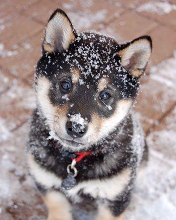 Snow Baby ~ adorable!: Animal Baby, Snow Angel, Cutest Dogs, Snow Baby, Fluffy Puppys, Shiba Inu Awww, Pet Photo, Baby Puppys, Shibainu