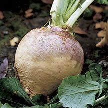 American Purple Top Rutabaga - The large, round roots on this heirloom variety are 4 to 6 inches in diameter, bright yellow, with a rich purple crown. Flesh is creamy-yellow turning to orange when cooked, fine grained, sweet, and of excellent quality. Roots store well. Approximately 8,500 seeds per ounce.