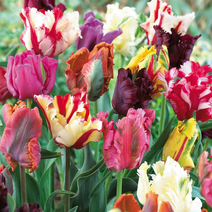 Image detail for -Flowers Flower Bulbs Tulip Bulbs Tulip 'Parrot Mixed'