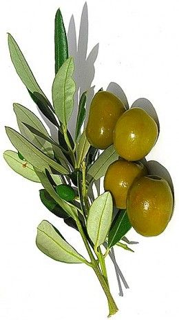 Olive oil is widely used in cooking
