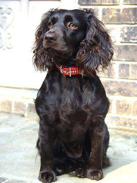 get a boykin puppy!