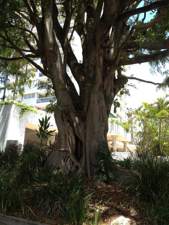 Moreton Bay fig tree - Kangaroo Point on the Brisbane River - Queensland