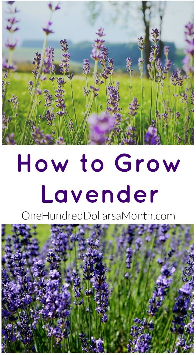 How to Grow Lavender, Lavender, Seed Starting, How to Grow, Gardening 101, Gardening Hacks, Gardening Tips, Gardening Tips and Tricks, Gardening for Beginners