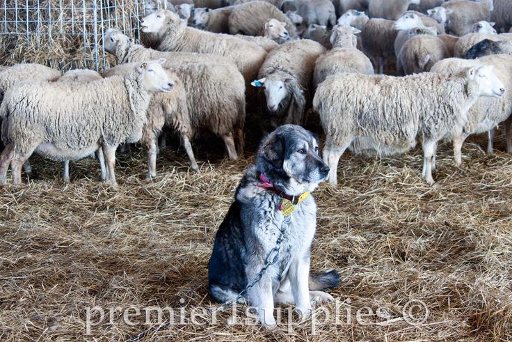Livestock Guardian Dogs Are An Important Fixture Here At