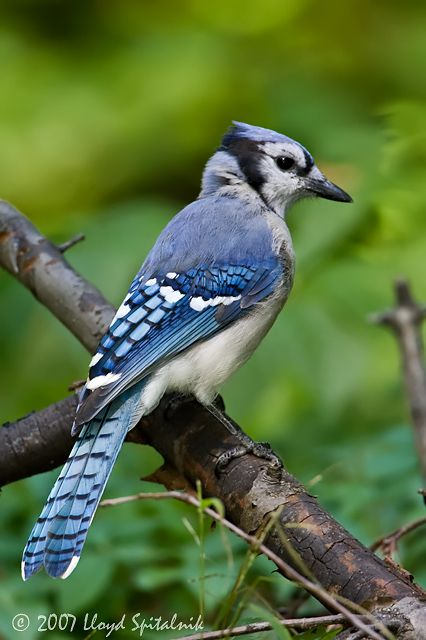Blue Jay - spotted in Alpharetta, georgia, while lazily gazing out of a window