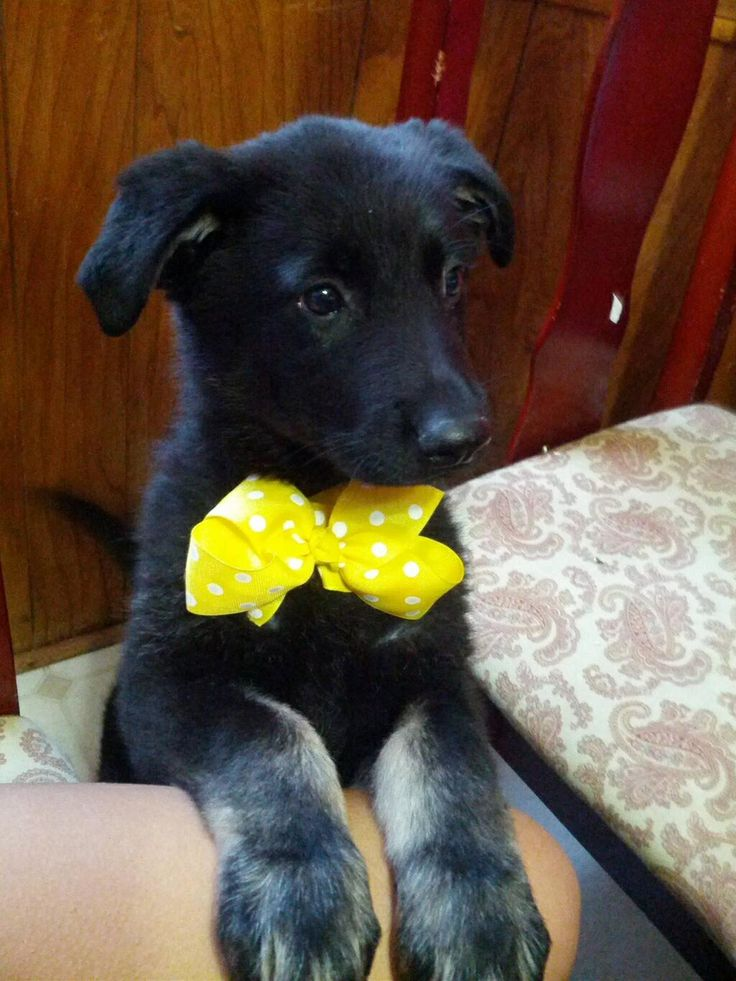 Beautiful Puppies Bow Adorable Dog - ae57c51da16ae58fabea584e692ebaa9--dog-bow-ties-dog-bows  Picture_551695  .jpg
