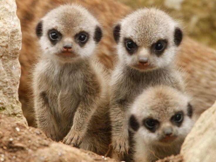 BABYS MIT TIERE | Diese drei süßen, kleinen Erdmännchen schauen ganz vorsichtig um ...
