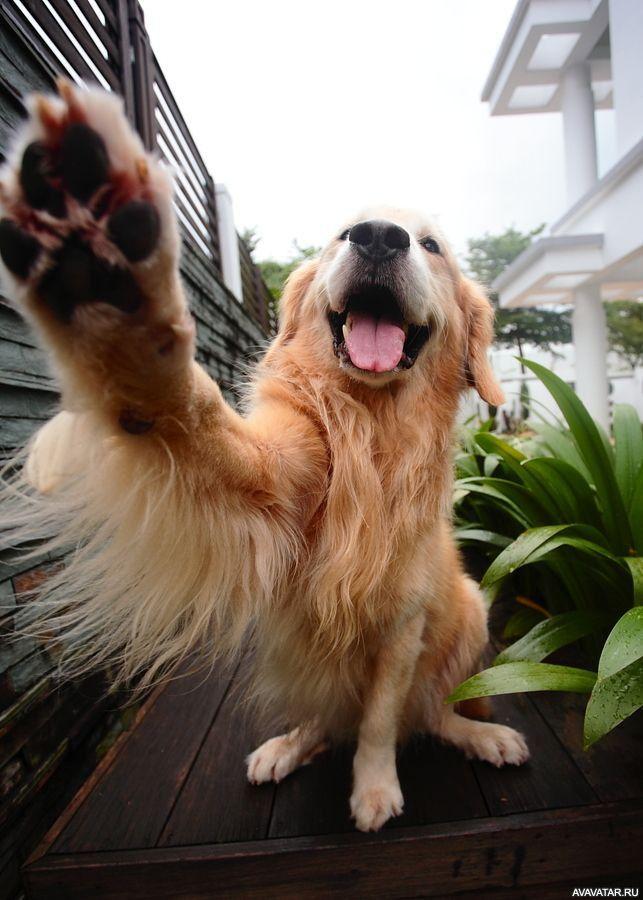 #animals, #dogs, #golden_retrievers, #pictures, #животные, #собаки, #Золотистые_ретриверы, #картинки https://avavatar.ru/image/19375