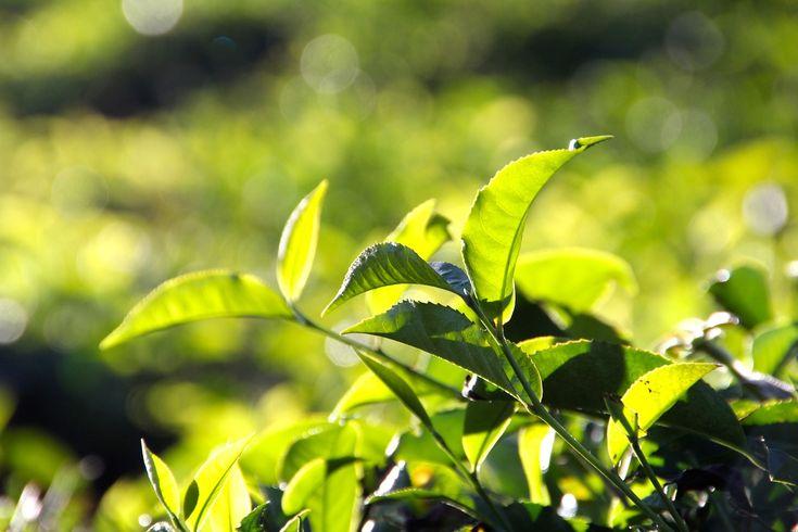 Jesteś miłośnikiem herbaty? Wolisz czerwoną, czy czarną? A może kochasz zieloną? Zapraszamy do lektury naszych wpisów na blogu poświęconych temu szczególnemu naparowi.