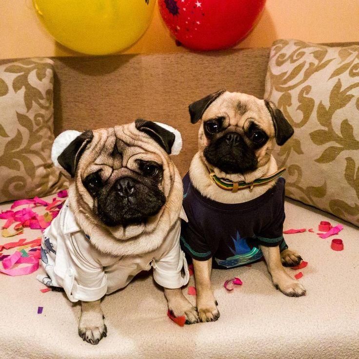 Happy International Pug Day!!!  #mauricethepug #bubble #queenb #happypugday #internationalpugday #pugday #happydog #happypug #puglife #pugcaht #pugstory #pug #pugs #happynes #party #celebration #mops #dog #puppy #tirgumures #romania #brother #sister