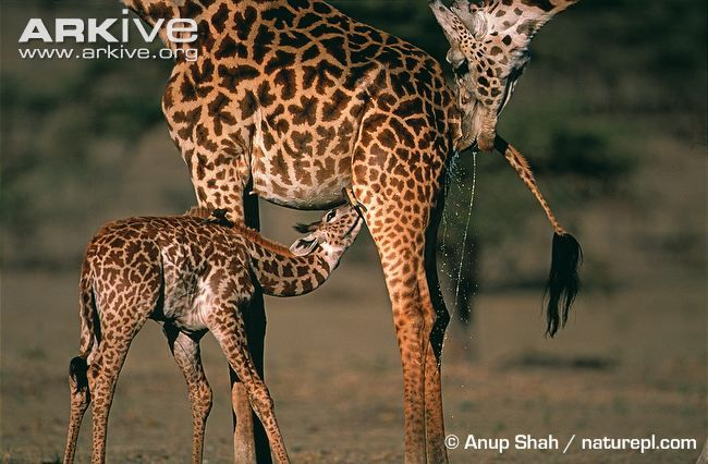 Infant giraffe suckling, male giraffe testing females urine