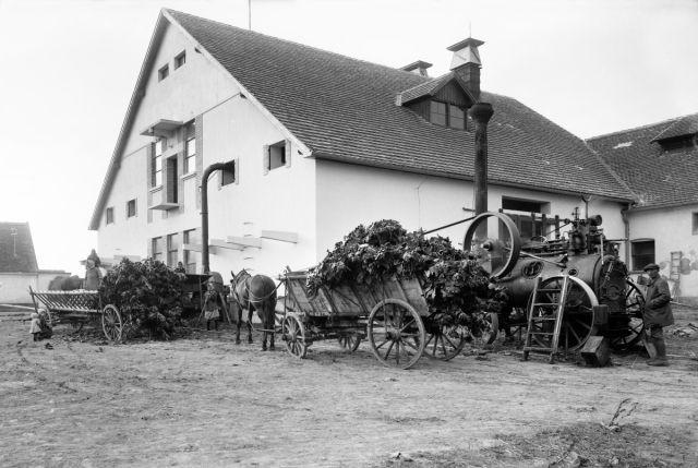 Silážování slunečnic na školním statku, 1928