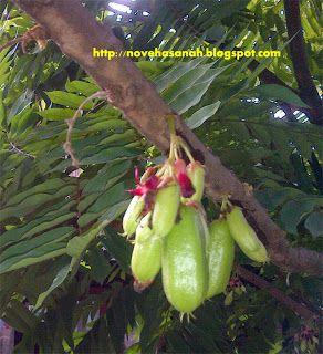 Nove Hasanah: Manfaat Belimbing Sayur untuk Kesehatan