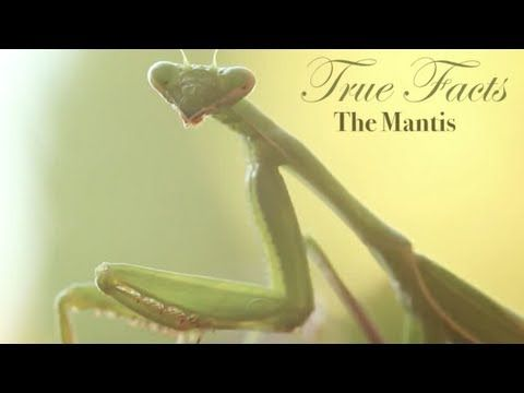 True Facts About The Mantis / ze frank!