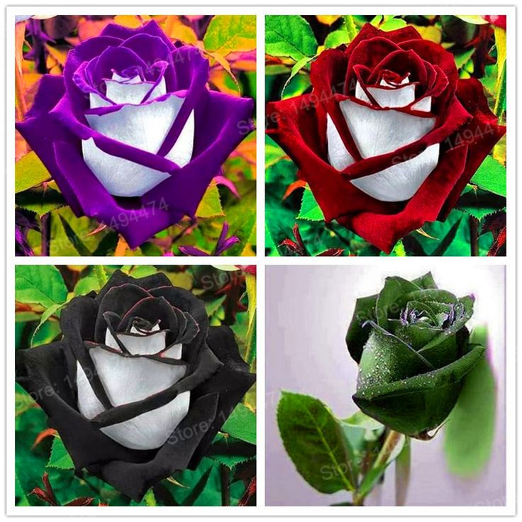 ... Plants Directly From China Seeds Black Suppliers: Rare Rose Seeds  Special Flower Seeds Black Rose Flower Rose Seed Bonsai Plant For Home And  Garden