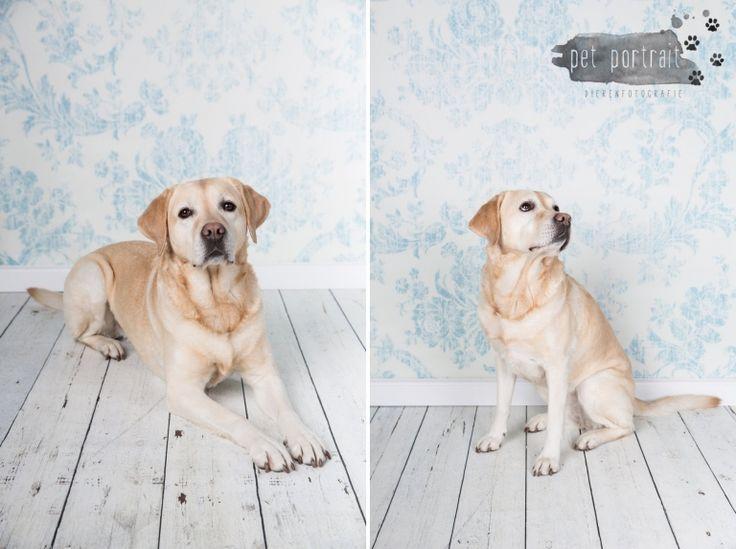 Hondenfotografie Hillegom - Dier en Baasje fotoshoot Labrador Aukje-1