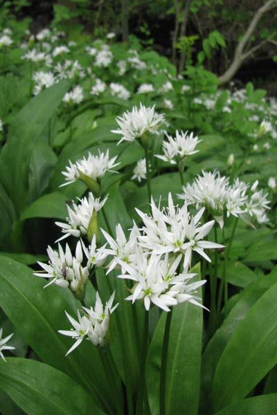 Wild garlic, one of the North Pennines' woodland plants (c) NPAP/Simon Wilson