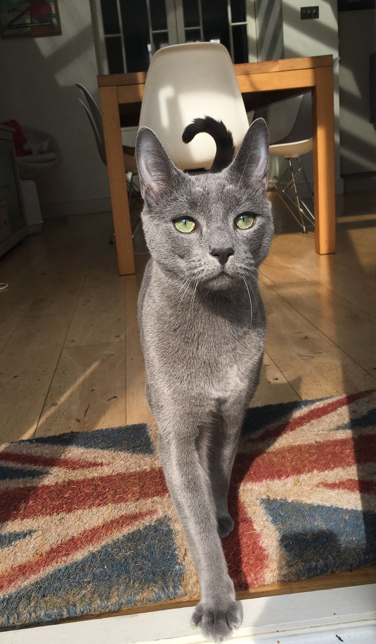 145 best Russian Blue Cats images on Pinterest