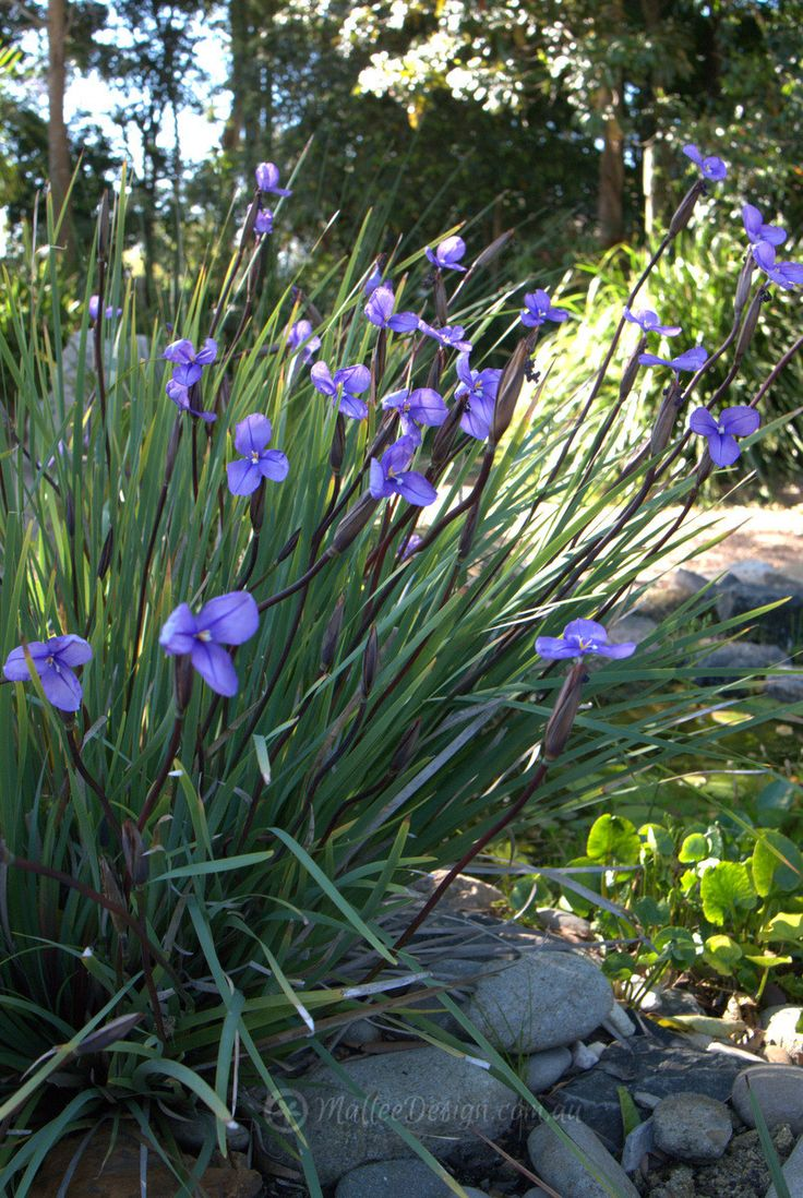 Patersonia sericea australian native plants pinterest for Garden design with native plants