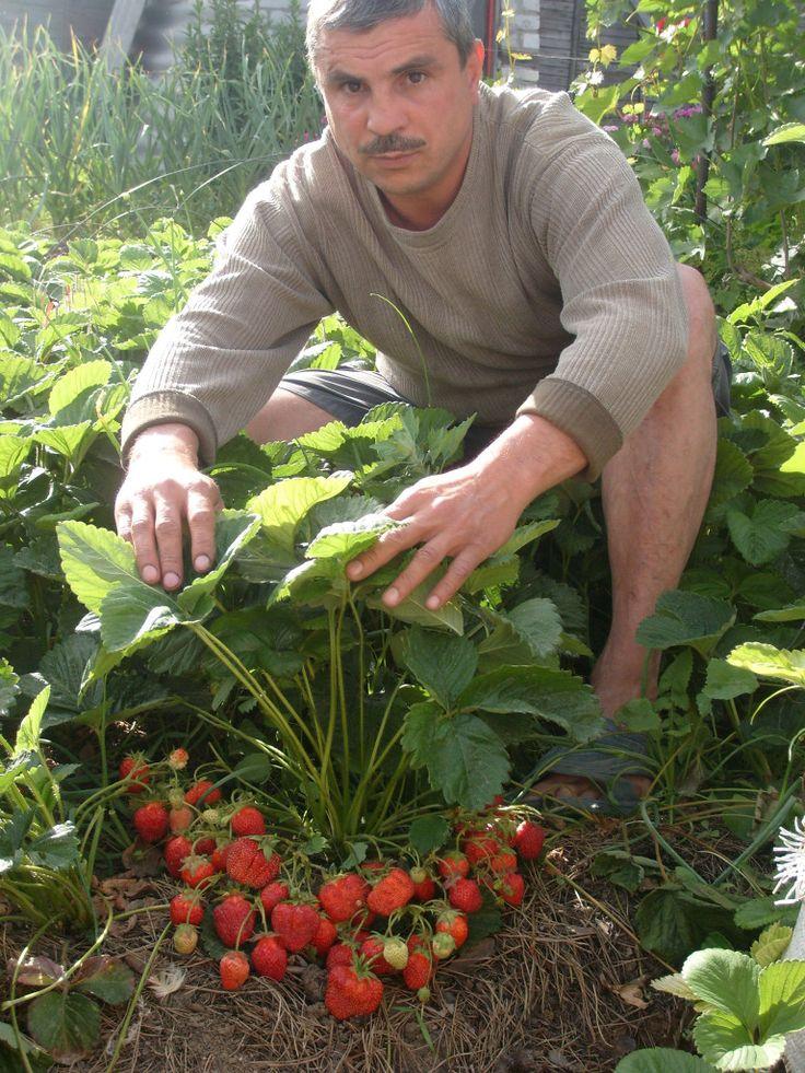 Выращивание ремонтантной клубники – вкусные ягоды все лето и до поздней осени!