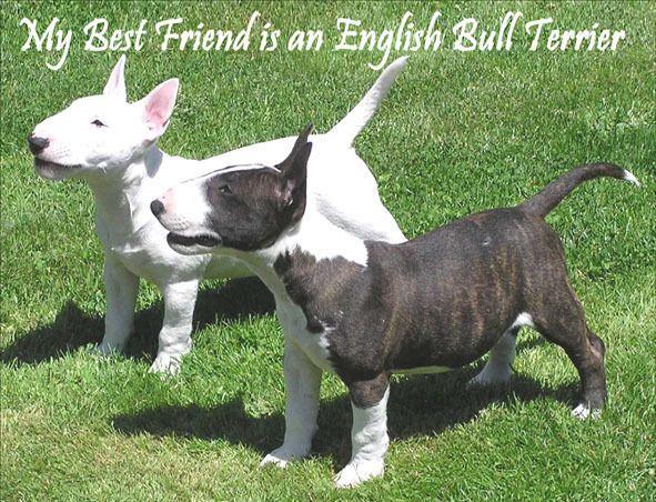 English Bull Terrier Dog Fridge Magnet My Best Friend English