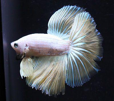 17 best images about bettas bonita on pinterest betta for Ebay betta fish