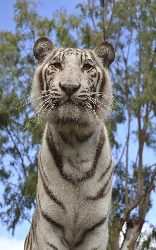 Uno de los atractivos de Isla Mauricio es el Parque Casela, con safaris donde poder caminar con leones y tigres, una experiencia increíble! Más consejos de viaje: www.espressofiorentino.com