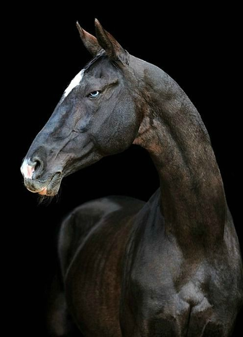 Akhal teke stallion, Tokhtamysh. photo: Artur Baboev.                                                                                                                                                      More