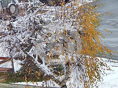 Birch tree with leaves at winter, photographed outdoors at daylight in Gheorgheni, Romania. The snow is resting on its branch, located near the bus station.