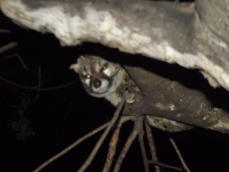 www.sunsafaris.com recent sightings of a resident #genet #cat at #umkumbe #safari #lodge #africa #sabi #sands #game #reserve #kruger #wildlife  Copyright: images taken by Zeena Ponto