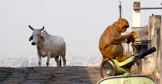 Top 10 des animaux sacrés dans le monde ne mangez pas nimporte quoi